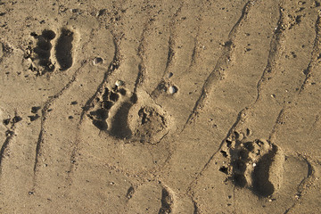 Grizzly Bear (Ursus arctos horribilis) foot print tracks in the sand