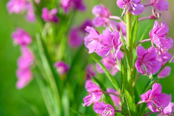 Pink flowers of fireweed (Epilobium or Chamerion angustifolium) in bloom ivan tea