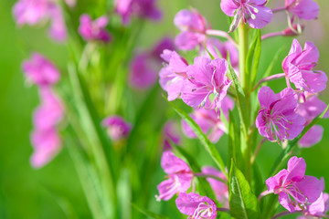 Pink flowers of fireweed (Epilobium or Chamerion angustifolium) in bloom ivan tea. Flowering willowherb