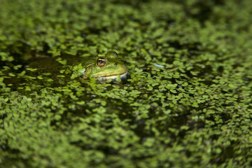 Common frog (Rana temporaria) in duckweed. England