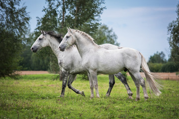 Wall Mural - Two white horses on the pasture