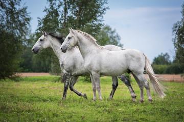 Fototapete - Two white horses on the pasture