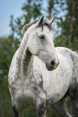 Fototapete - Portrait of big white horse