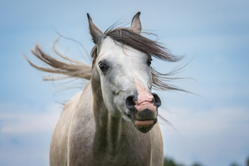 Portrait of funny arabian horse