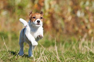 Jack Russell Runs Dog