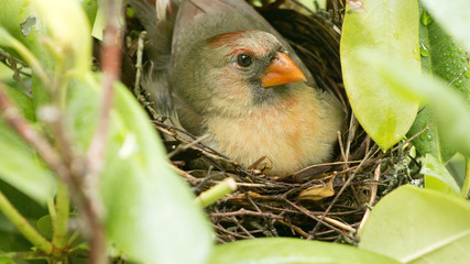 Female cardinal sits on her new born babies in the nest