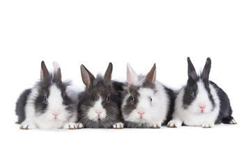 Four little rabbits isolated on white