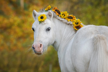 Beautiful white shetland pony with sunflowers in its main in autumn