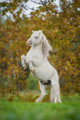 White shetland pony rearing up on its hind legs in autumn