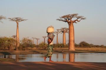 Foto op Plexiglas Baobab Allée des baobabs
