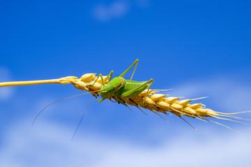 Isophya. Grasshopper is an isophy on a wheat spikelet. Isophya a