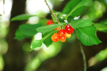 ripe red cherry on the tree