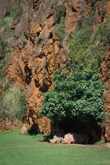 White rhinoceros lying beneath cliff  in shade
