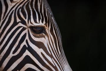Wall Murals Zebra Close-up of Grevy zebra head in blackness