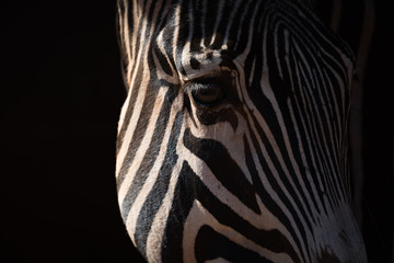 Aluminium Prints Close-up of Grevy zebra head catching sunlight