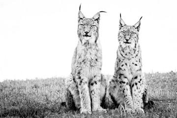 Wall Murals Lynx Two lynx sitting on grass in mono