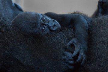 Baby gorilla lying in arms of mother