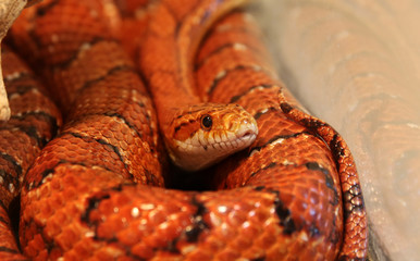 Corn snake Pantherophis guttatus rat snake