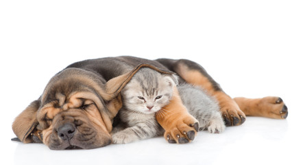 Sleeping bloodhound puppy embracing kitten. isolated on white background