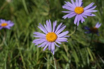 Purple Alpine Aster flowers.