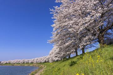 Wall Mural - 満開の白石川堤一目千本桜