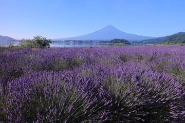 河口湖 大石公園のラベンダー畑と富士山