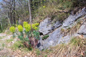 View of spurge plants