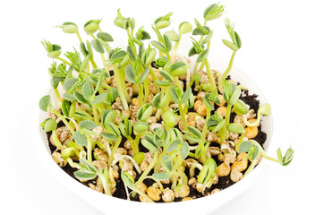 Young lupin bean plants in white plastic tray over white. Seedlings from lupini bean kernels in potting compost. Green sprouts and leafs of yellow speckled legume seeds. Lupinus mutabilis. Macro photo