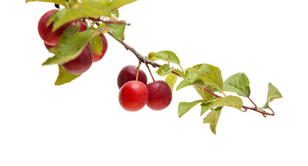 small red plums on branches