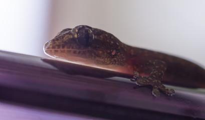 Small gecko close up