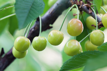 Raw yellow cherries branch closeup photo. Green berry fruit tree, summer time garden background. Selective focus