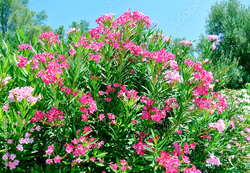 pink nerium oleander evergreen small tree in cyprus stock photo
