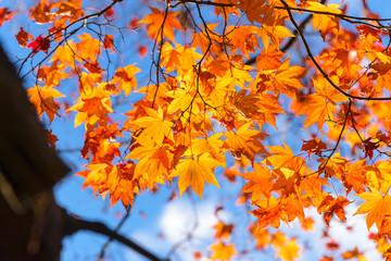 the beautiful autumn color of Japan maple.leaves on tree, yellow, orange and red discoloration in the park, when the leaves change colorful in November, every year