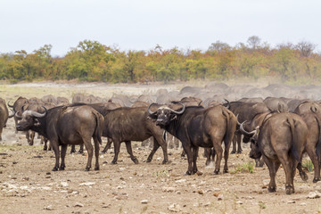African buffalo in Kruger National park, South Africa