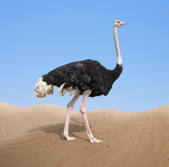 In de dag Struisvogel ostrich in desert