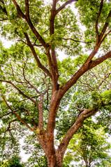 Rain tree, Mimosa Tree