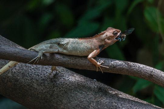Chameleon eating a bee