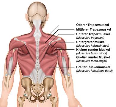 Anatomie der Rückenmuskeln mit Beschreibung deutsch / latain