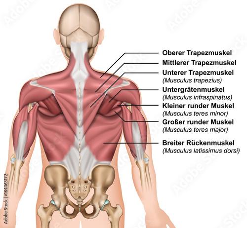 Anatomie der Rückenmuskeln mit Beschreibung deutsch / latain ...