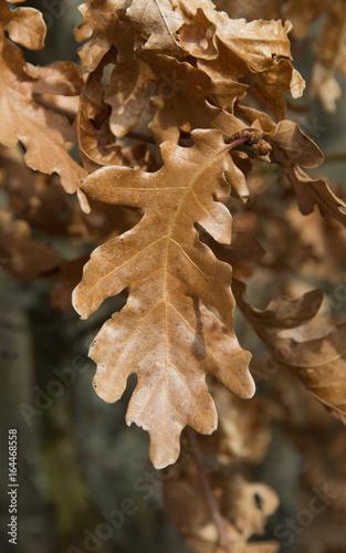 Detalle de hoja lobulada de Roble blanco , de color marron en el ...