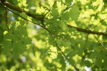 green oak leaves against blue sky in sunny day