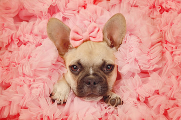 Bulldog puppy in tutu