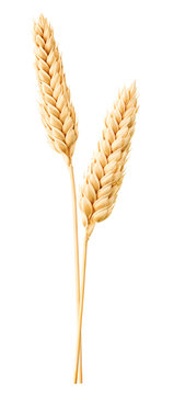 Isolated wheat. Two wheat ears isolated on white with clipping path