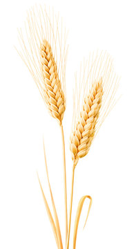 Isolated wheat. Two wheat ears with leaves isolated on white background with clipping path