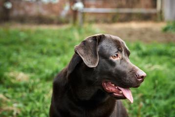 dog, a labrador in the backyard, animals, pets