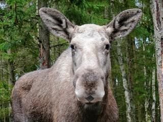 straight looking moose