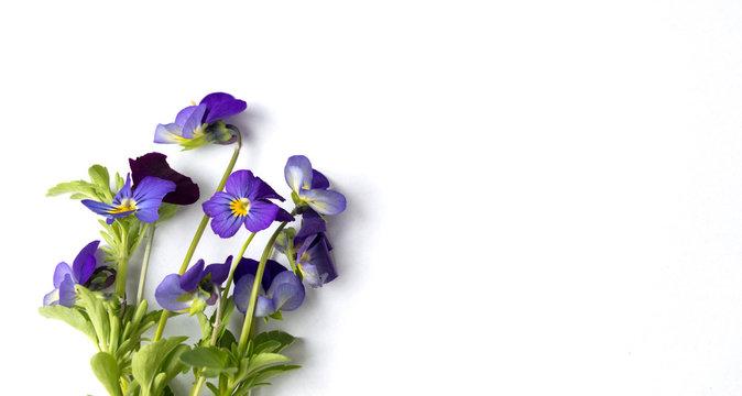 Wild viola flower on white background