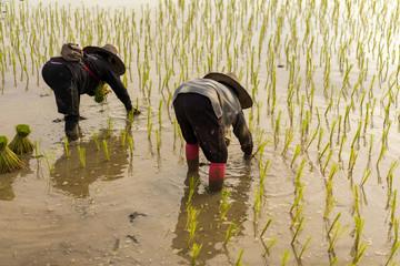 farmer planting on the paddy rice farmland