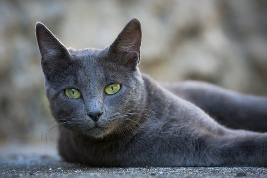 Chat gris aux yeux vert