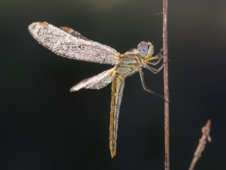 Dragonfly photographed in their natural environment.